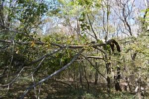 台風のために倒れた木